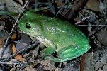 Photo of Litoria caerulea (common green treefrog) - Hines, H.,Queensland Government,1999