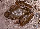 Photo of Mixophyes iteratus (giant barred frog) - Hines, H.,Queensland Government,1998