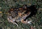 Photo of Neobatrachus sudellae (meeowing frog) - Hines, H.,Queensland Government,1999