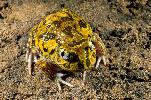 Photo of Neobatrachus sudellae (meeowing frog) - McDonald, K.,Queensland Government,1999