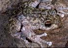 Photo of Litoria nannotis (waterfall frog) - Hines, H.,Queensland Government,2000