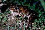 Photo of Litoria peronii (emerald spotted treefrog) - Queensland Government,1979
