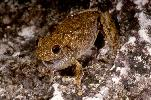 Photo of Litoria rothii (northern laughing treefrog) - McDonald, K.,Queensland Government,1997