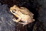 Photo of Litoria verreauxii (whistling treefrog) - Hines, H.,Queensland Government