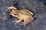 Photo of Litoria verreauxii (whistling treefrog) - Hines, H.,Queensland Government,1999