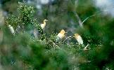 Photo of Bubulcus ibis (cattle egret) - Queensland Government,1986