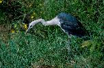 Photo of Ardea pacifica (white-necked heron) - Queensland Government,1977