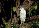 Photo of Egretta sacra (eastern reef egret) - Queensland Government,1982