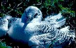 Photo of Phaethon rubricauda (red-tailed tropicbird) - Queensland Government,1976