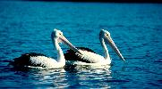 Photo of Pelecanus conspicillatus (Australian pelican) - Queensland Government,1978