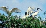 Photo of Threskiornis molucca (Australian white ibis) - Queensland Government,1986