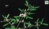 Photo of Boronia keysii (Key