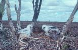 Photo of Aquila audax (wedge-tailed eagle) - Queensland Government,1978