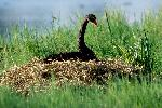 Photo of Cygnus atratus (black swan) - Queensland Government,1988