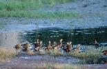 Photo of Dendrocygna arcuata (wandering whistling-duck) - Queensland Government,1988