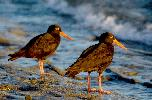 Photo of Haematopus fuliginosus (sooty oystercatcher) - Queensland Government