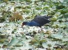 Photo of Porphyrio melanotus (purple swamphen) - Queensland Government