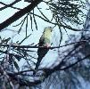 Photo of Psephotus chrysopterygius (golden-shouldered parrot) - Queensland Government,1983