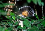 Photo of Rhipidura rufifrons (rufous fantail) - Queensland Government,1987