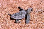 Photo of Lepidochelys olivacea (olive ridley turtle) - Queensland Government,1993