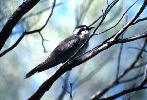 Photo of Chalcites osculans (black-eared cuckoo) - Dollery, C.,QPWS,1999