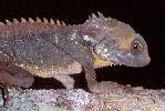 Photo of Lophosaurus boydii (Boyd