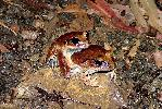Photo of Mixophyes fasciolatus (great barred frog) - Manning, B.,DEHP,2004