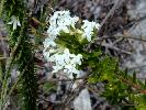 Photo of Pimelea linifolia () - Thomas, R.,QPWS,2003
