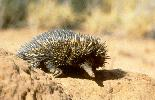 Photo of Tachyglossus aculeatus (short-beaked echidna) - Queensland Government