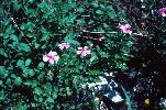 Photo of Catharanthus roseus (pink periwinkle) - Dowling, R.,Queensland Herbarium, DES,1986