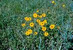 Photo of Coreopsis lanceolata () - Queensland Herbarium, DES