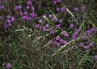 Photo of Austrostipa aristiglumis (plains grass) - Sharp, D.,Queensland Herbarium, DES