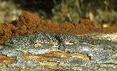 Photo of Strophurus williamsi (soft-spined gecko) - Dollery, C.,QPWS,2001