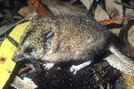 Photo of Sminthopsis macroura (stripe-faced dunnart) - Dollery, C.,QPWS,2001