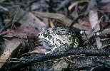 Photo of Cyclorana brevipes (superb collared frog) - Dollery, C.,DEHP,2000
