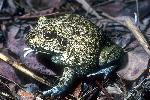 Photo of Cyclorana novaehollandiae (eastern snapping frog) - Dollery, C.,QPWS,2001